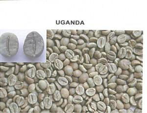 uganda robusta